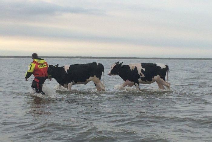 Reddingsactie Koeien tijdens Oerol op wad knrm nieuws